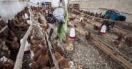 UN agency urges heightened vigilance after H5N1 outbreaks in West and Central Africa