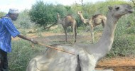 Arrest, charge officers who shot and killed 100 camels, says Haji