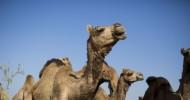 A Downsized Saudi Hajj Wreaks Havoc on Somalia's Camel Exports